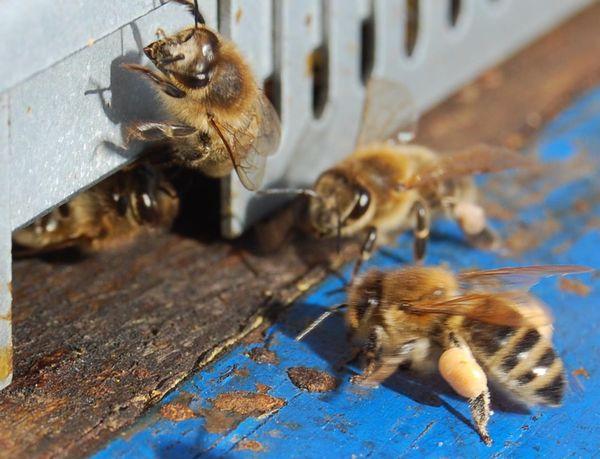 Pollen à la planche de vol